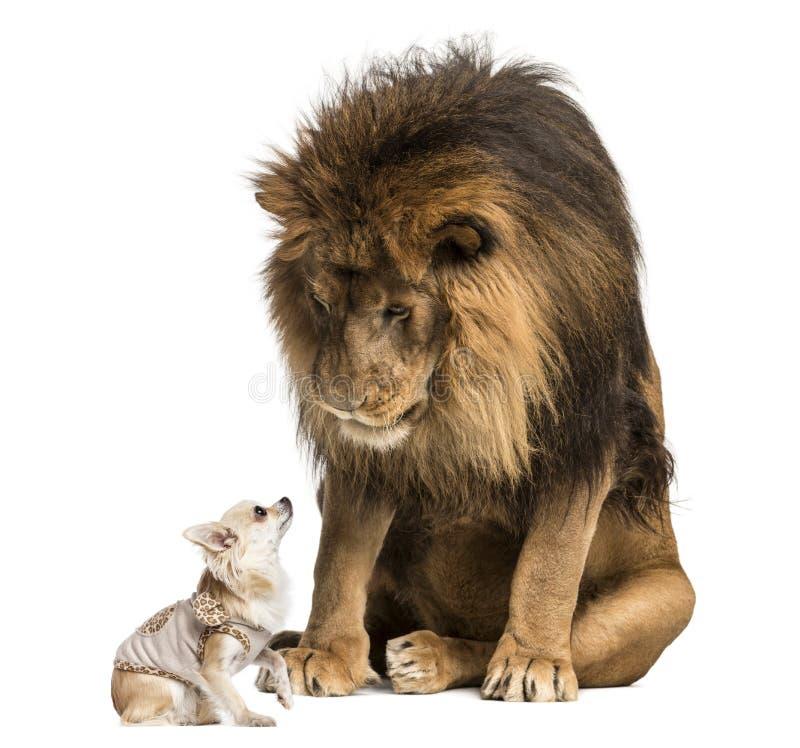 坐和看奇瓦瓦狗的狮子 免版税库存照片