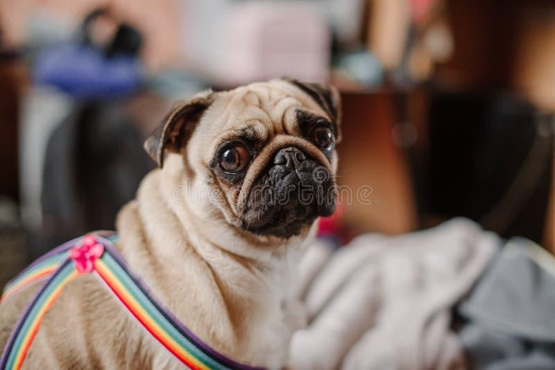 坐和看您的女孩哈巴狗 免版税图库摄影
