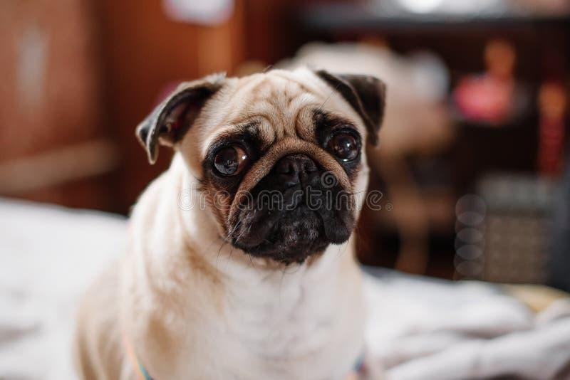 坐和看您的女孩哈巴狗 免版税库存照片