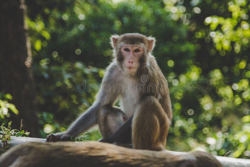 坐和看摄影师的短尾猿猴子的逗人喜爱的小的画象 绿色公园或密林风景在香港 免版税图库摄影
