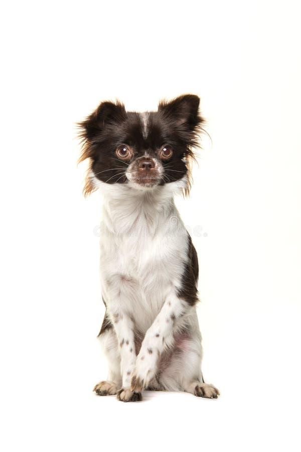 坐和看照相机的逗人喜爱的棕色和白色奇瓦瓦狗狗 免版税库存图片