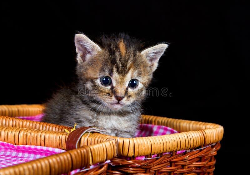 坐在一个小的篮子的逗人喜爱的小猫 免版税库存照片