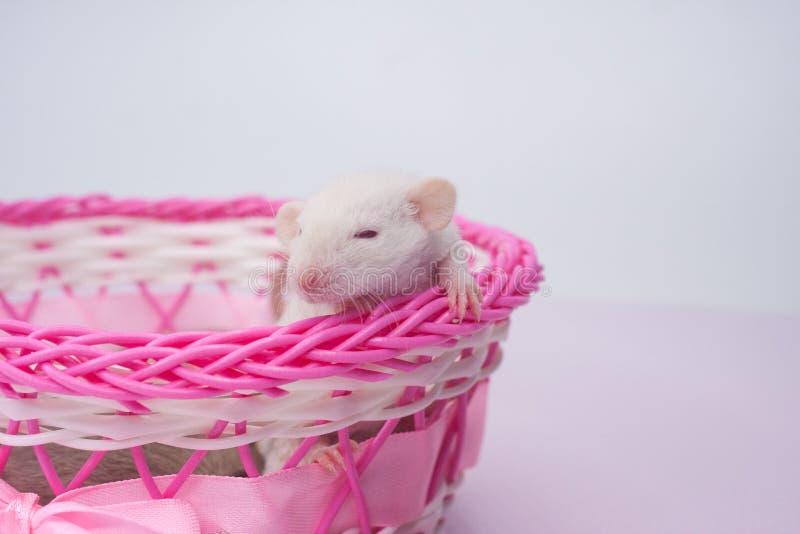 坐在一个桃红色篮子的白色老鼠 鼠在箱子 图库摄影