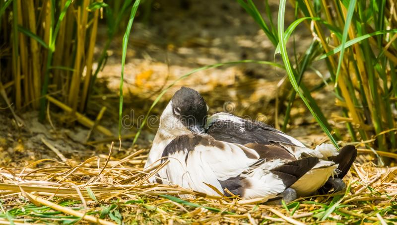 坐在一些草之间的一群染色长嘴上弯的长脚鸟的特写镜头,从欧亚大陆的涉水鸟 免版税库存图片