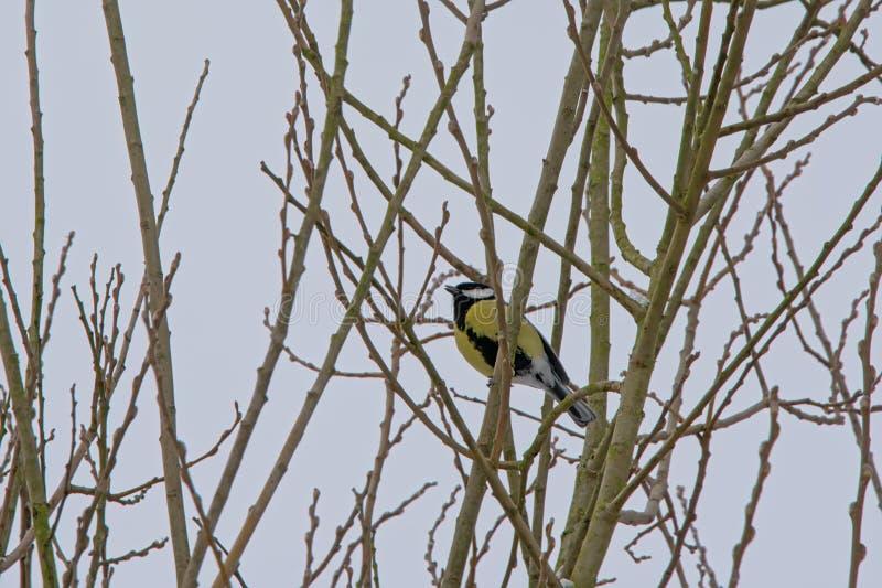 坐在一棵光秃的冬天树的分支的欧亚蓝冠山雀 库存图片