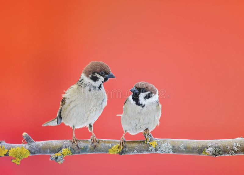 坐在一棵树的对逗人喜爱的小的麻雀鸟在加尔省 免版税库存图片