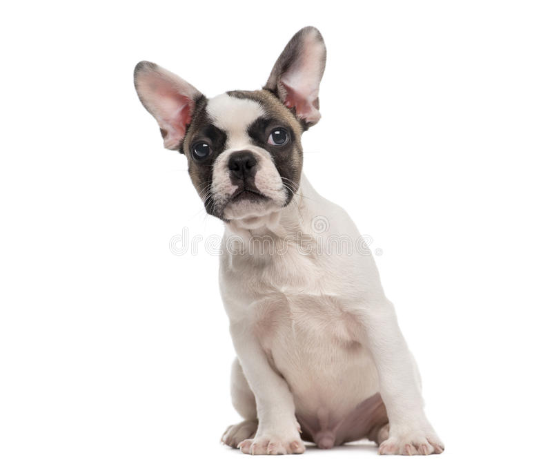 坐在一白色backgr前面的法国牛头犬 免版税图库摄影