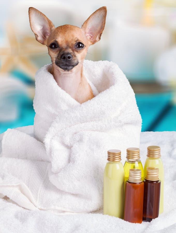 坐在与油温泉的毛巾的小的俏丽的狗 免版税库存照片