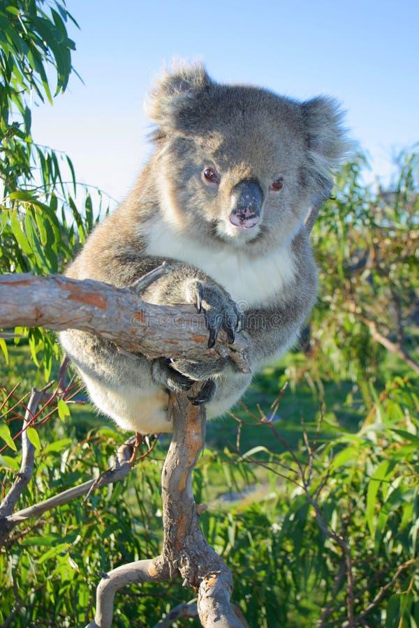 坐在产树胶之树的考拉 澳洲 库存图片