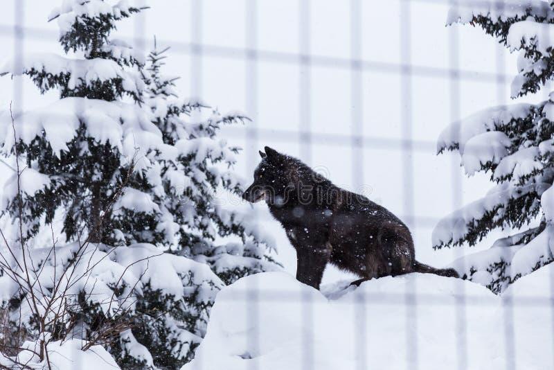 坐在他的笼子的雪的黑狼狗在一个动物园在北海道, 免版税库存照片