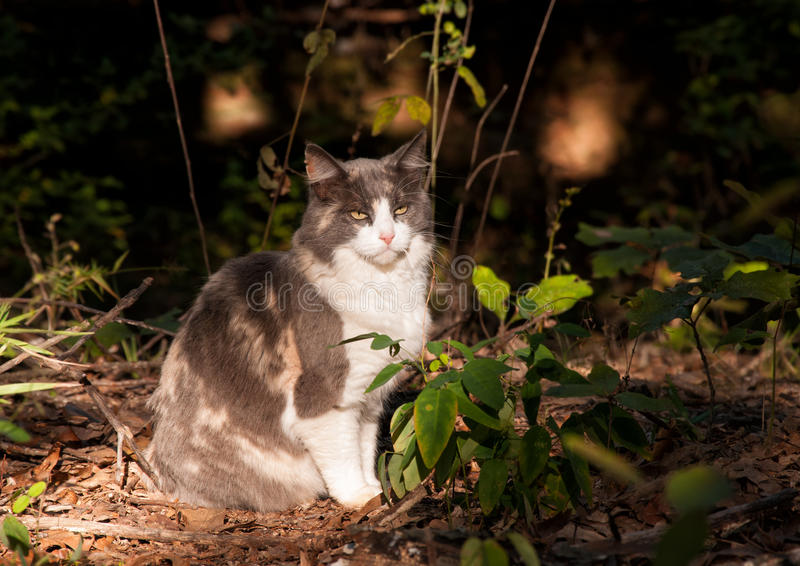坐在光柱的美丽的被稀释的杂色猫 库存图片