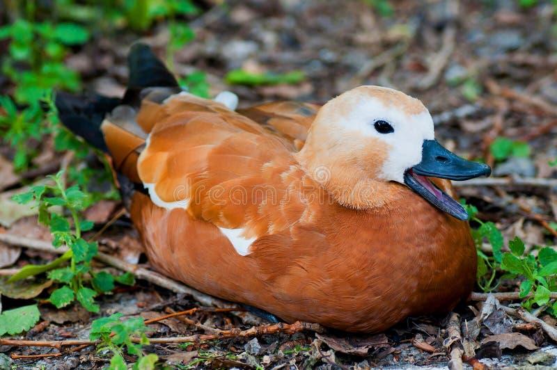 坐在公园的鸭子 免版税库存照片