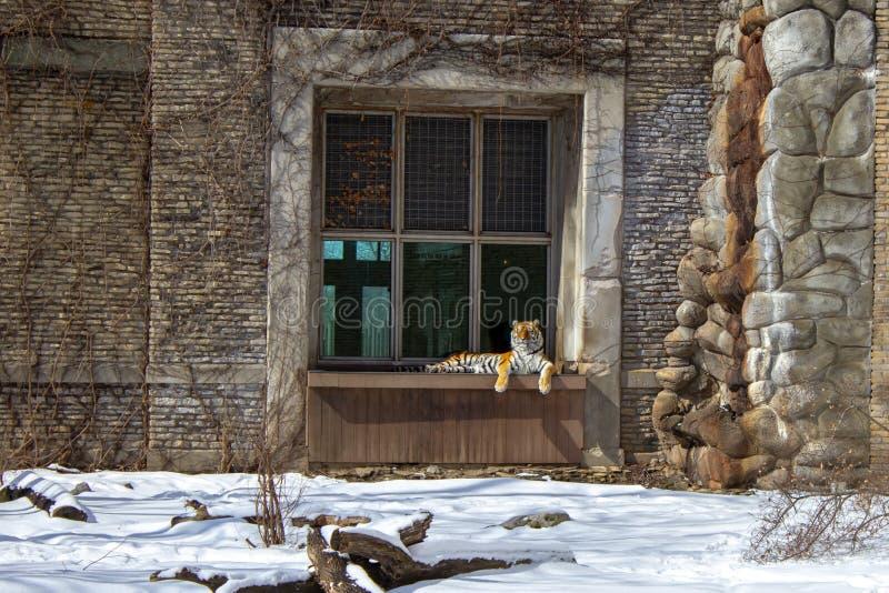 坐在动物园里的老虎在冬天享受阳光 免版税图库摄影