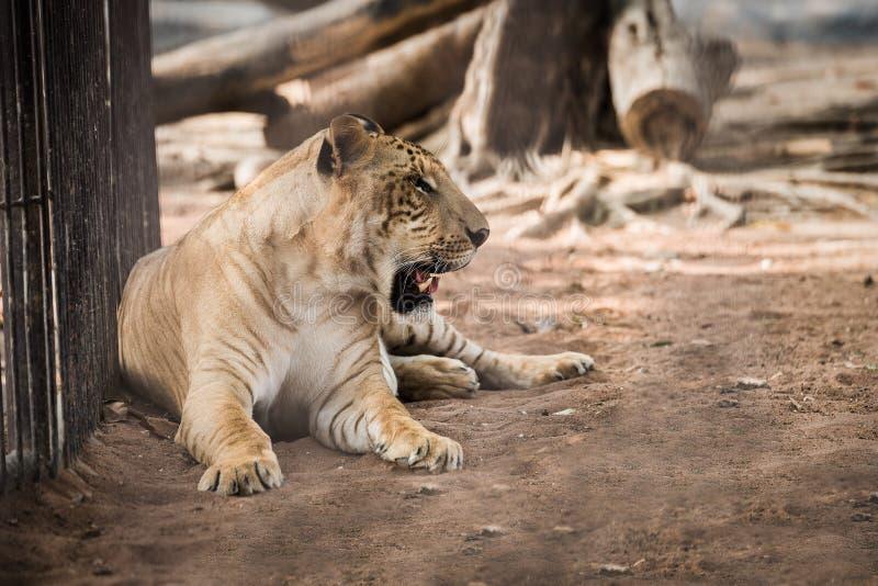 坐在动物园里的Liger 图库摄影