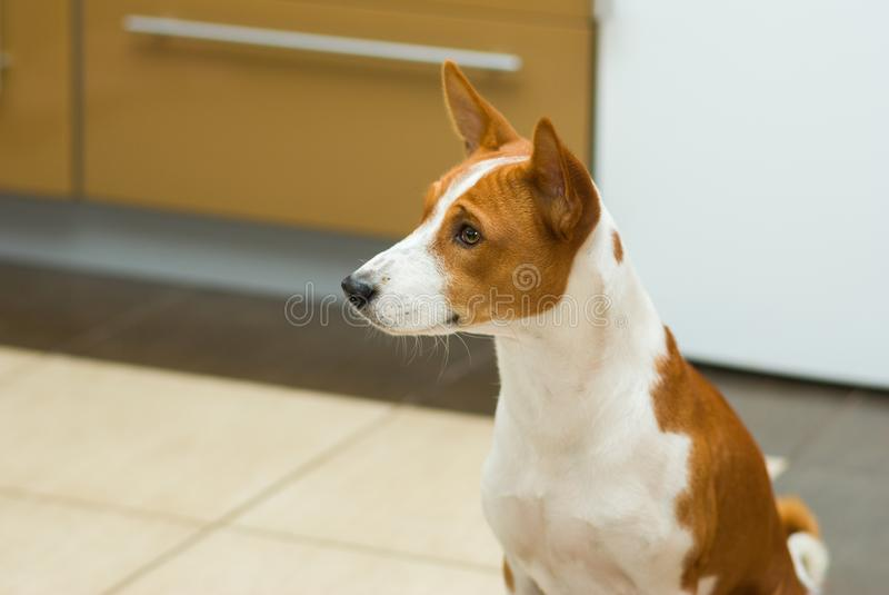 坐在厨房里的幼小basenji狗画象  库存图片