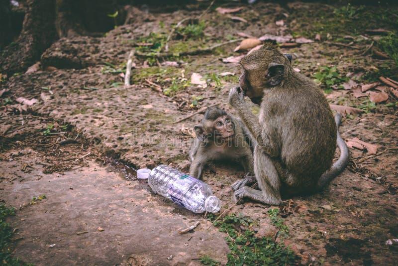 坐在吴哥窟附近寺庙的母亲短尾猿和她的婴孩在柬埔寨 免版税库存照片
