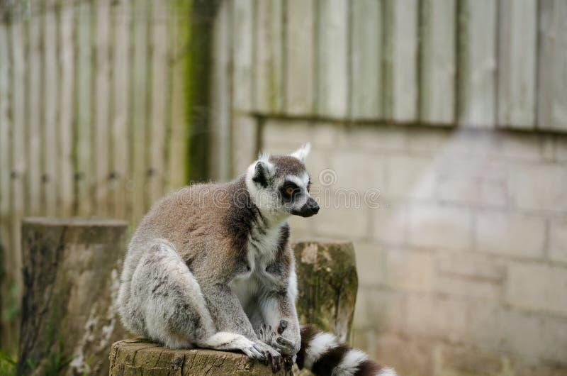坐在囚禁的一个树桩顶部的环纹尾的狐猴 H 库存照片