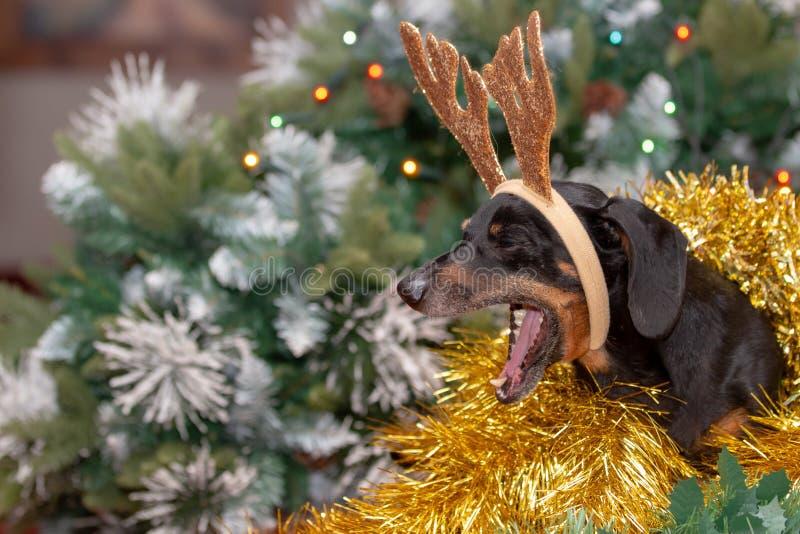 坐在圣诞树前面是一只乏味和打呵欠的达克斯猎犬 库存照片