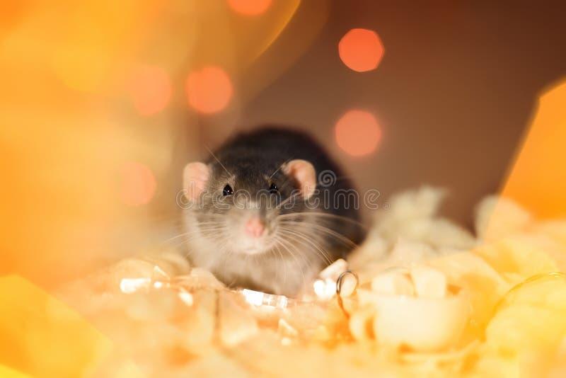 坐在圣诞节诗歌选光装饰的花梢鼠 库存照片