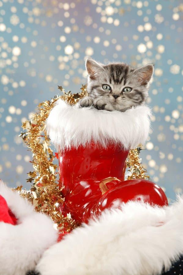 坐在圣诞节起动的逗人喜爱的平纹英国shorthair猫 免版税库存照片