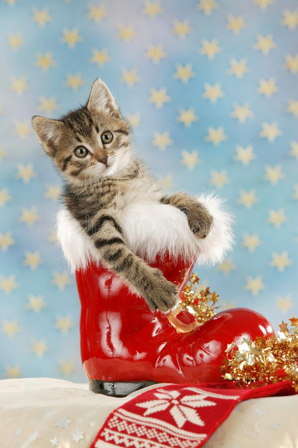 坐在圣诞节起动的逗人喜爱的平纹英国shorthair猫 免版税库存图片
