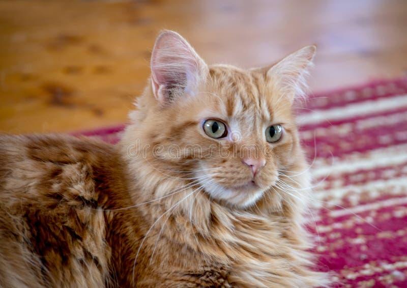 坐在地毯上的泰比猫 库存图片