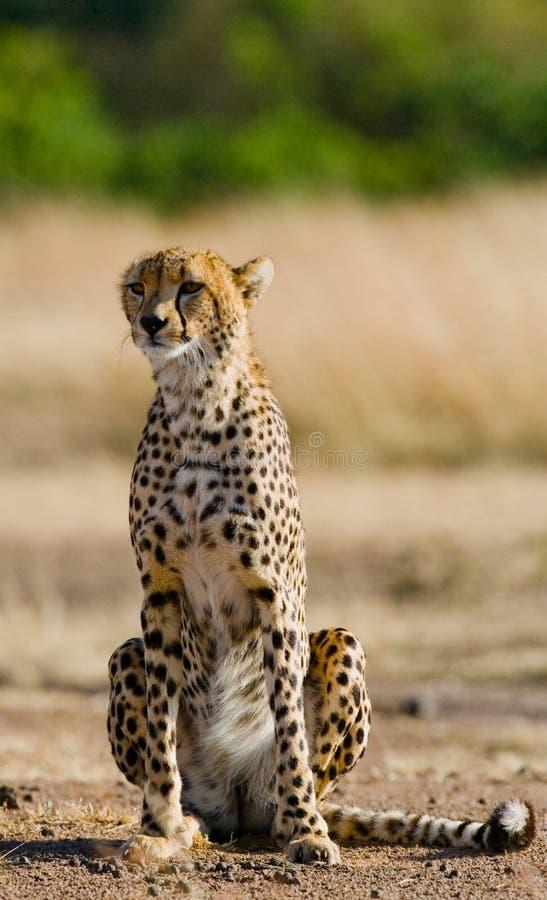 坐在大草原的猎豹 特写镜头 肯尼亚 坦桑尼亚 闹事 国家公园 serengeti 马赛马拉 免版税库存照片