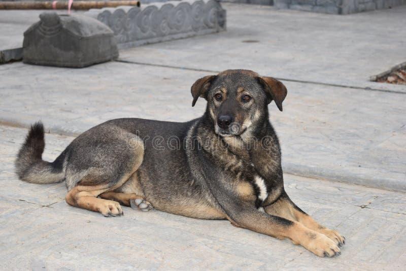坐在寺庙复合体前面的美丽的街道狗在河内,越南,亚洲 免版税库存照片