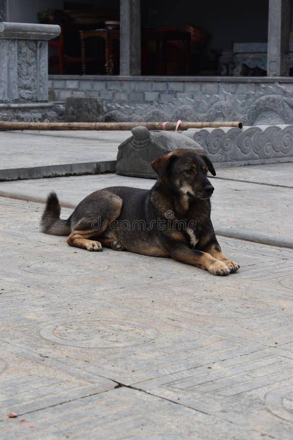 坐在寺庙复合体前面的美丽的街道狗在河内,越南,亚洲 免版税库存图片