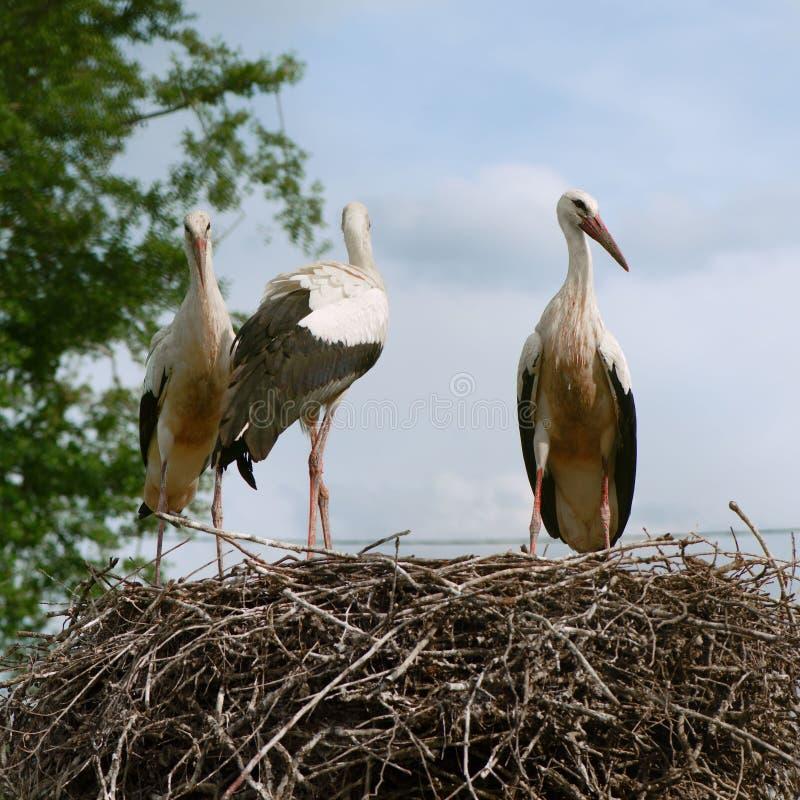 坐在巢的三白色鹳 免版税库存照片