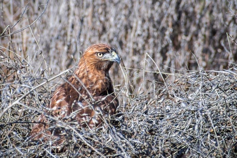 坐在干燥灌木中的红被盯梢的鹰鵟鸟jamaicensis 库存照片