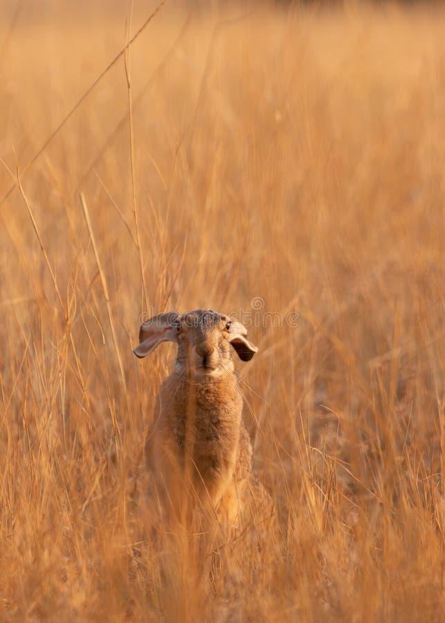坐在干燥金黄草的领域的早晨太阳与它的` s耳朵下来在一个轻松的姿势的长耳大野兔 库存图片