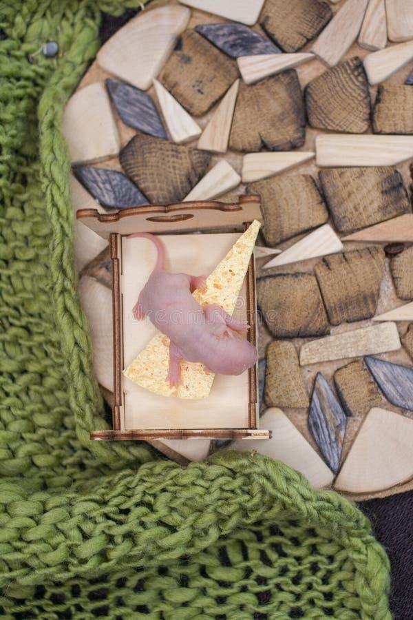 坐在床上的新出生的鼠崽 老鼠婴孩 免版税库存图片