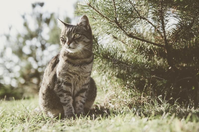 坐在庭院里的虎斑猫由树 猫是宠物,家庭爱她 她是美丽,愉快和镇静的 免版税库存照片