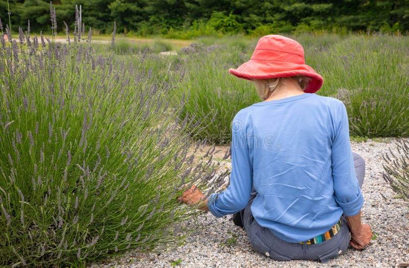 坐在庭院里的黑暗的桃红色帽子的苗条老妇人采摘淡紫色 库存图片
