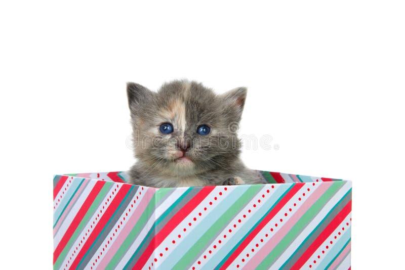 坐在当前箱子的被稀释的tortie小猫被隔绝 免版税库存照片