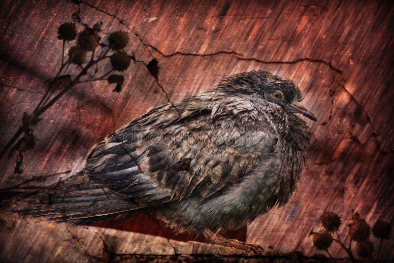 坐在恶劣天气的肮脏的鸽子 免版税库存照片