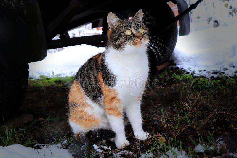 坐在推车下和看在雪花的一只家猫跌倒 三色猫 布朗,黑白 免版税库存照片