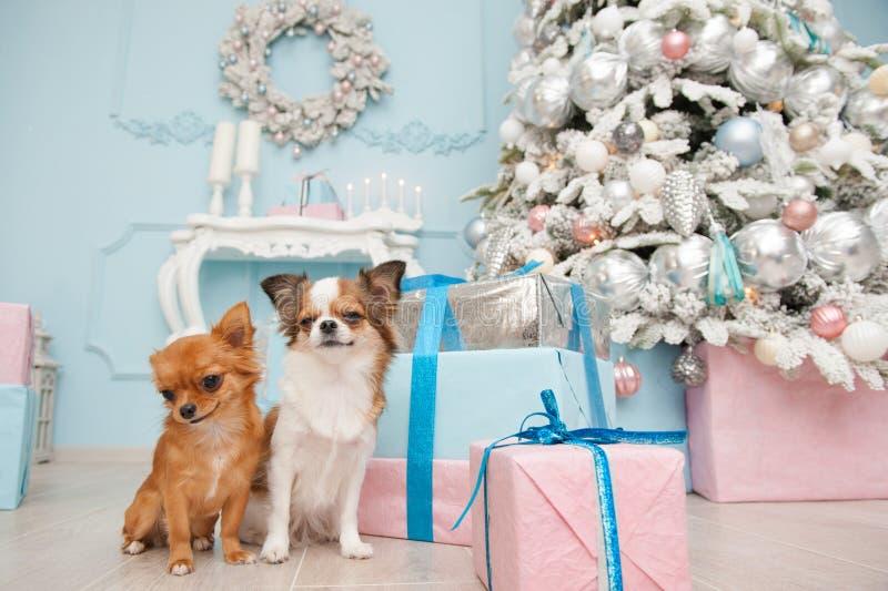 坐在新年decoratio的逗人喜爱的对小的奇瓦瓦狗狗 库存照片