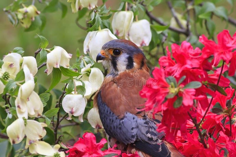 坐在春天杜娟花的美国茶隼 库存图片