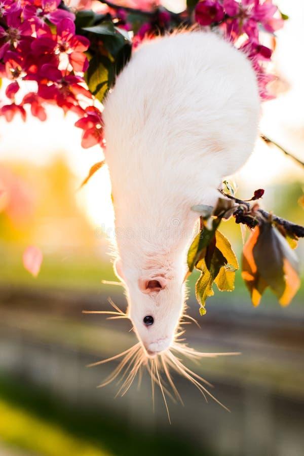 坐在春天苹果开花的可爱的花梢鼠 库存图片