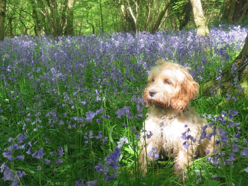 坐在有会开蓝色钟形花的草的森林的被日光照射了Cockapoo小狗 免版税库存图片