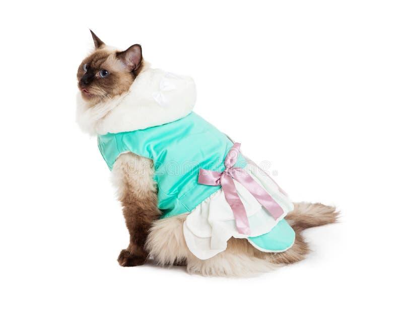 坐在有桃红色弓的俏丽的礼服的华美的Ragdoll猫 免版税库存照片