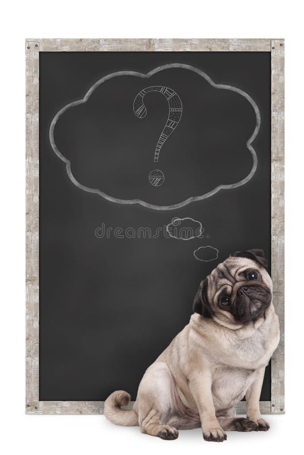 坐在有白垩问号的黑板前面的甜聪明的哈巴狗小狗在想法泡影, 免版税库存照片