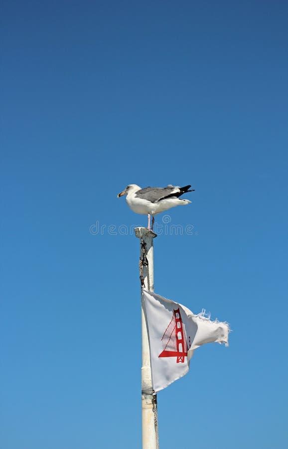 坐在有金门大桥旗子的小船顶部的海鸥 库存图片