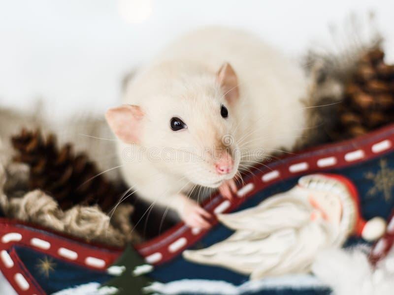 坐在木爬犁的滑稽的鼠在圣诞节装饰 免版税图库摄影