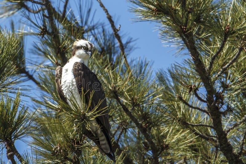 坐在杉树的白鹭的羽毛 库存照片