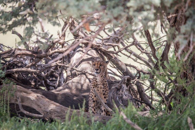 坐在树下的猎豹 图库摄影