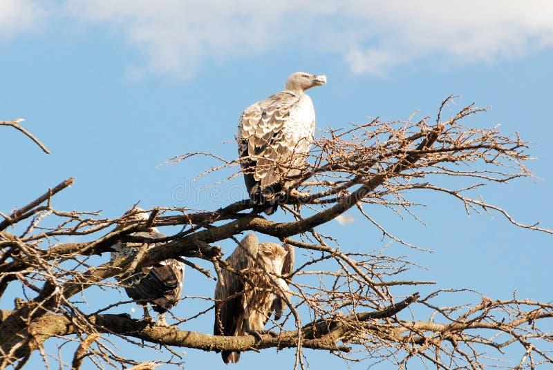 坐在树塞伦盖蒂国家公园坦桑尼亚的非洲雕 免版税库存图片