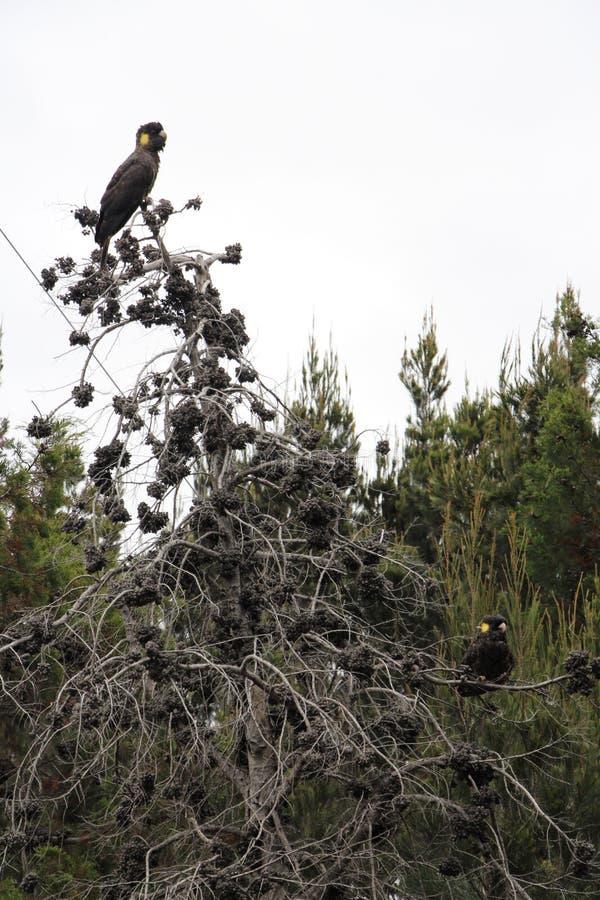 坐在树的一个对黄色被盯梢的黑美冠鹦鹉 库存图片